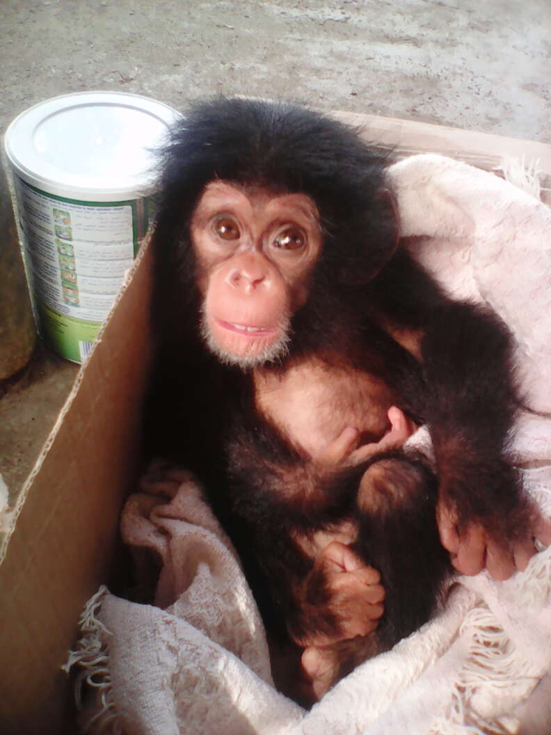 Rescued orphaned chimp