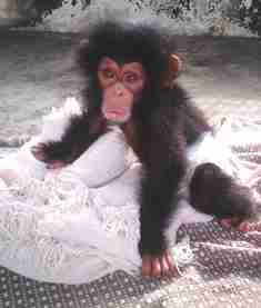 Chimp rescued from wildlife trade