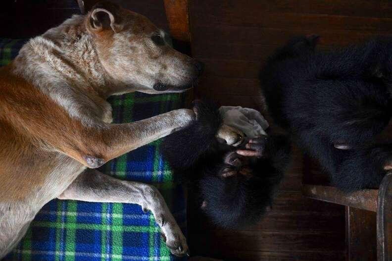 Dog sleeping with baby chimp