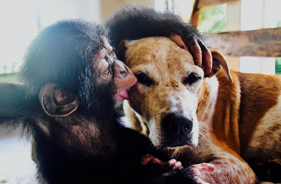 Rescue Dog Helps Raise Orphaned Chimps - The Dodo
