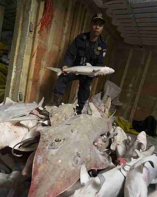 Policeman with dead sharks and rays