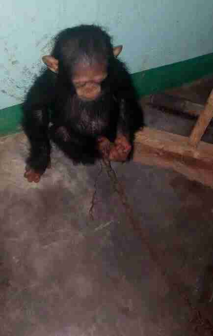 Chimp chained by traffickers