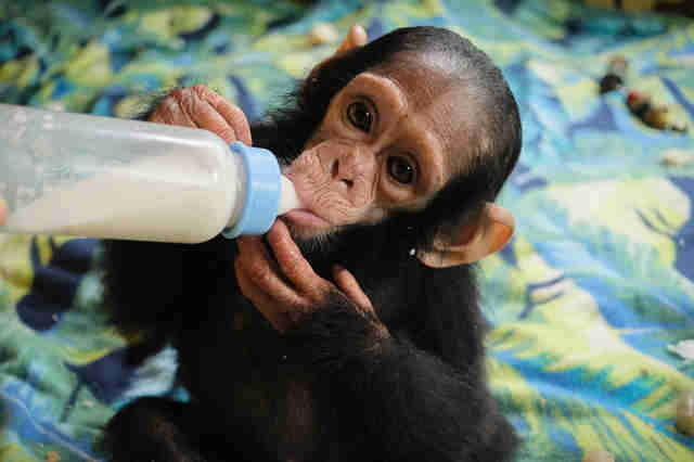 Rescued chimp getting bottle of milk