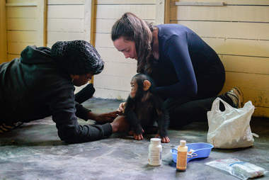 Chimp with rescuers