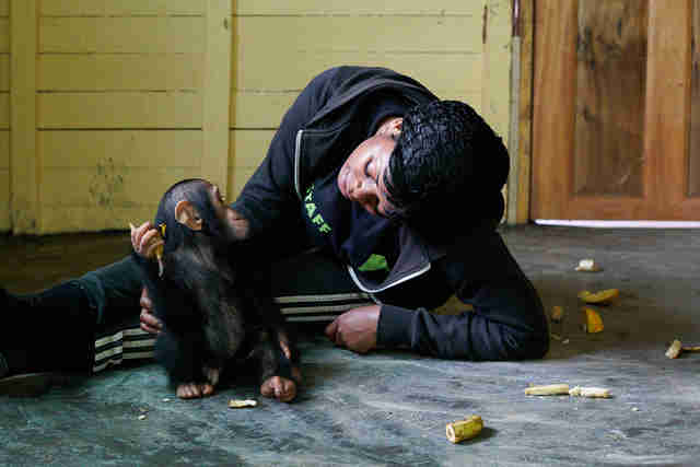 Rescued chimp with caretaker