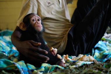 Rescued chimp with caretaker