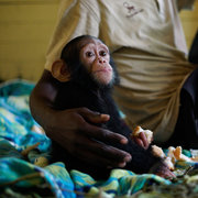Orphaned Baby Chimp Can't Stop Smiling At Her Rescuers ...