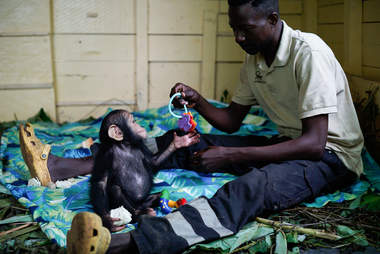 Rescued chimp playing with caretaker