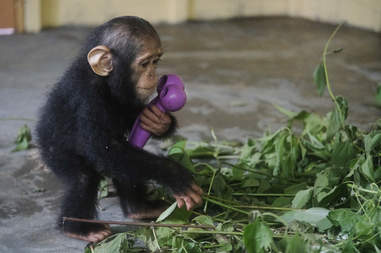 Rescued chimp playing with leaves