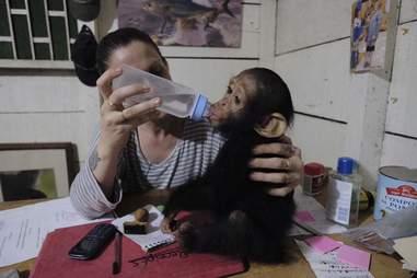 Rescued chimp getting bottle