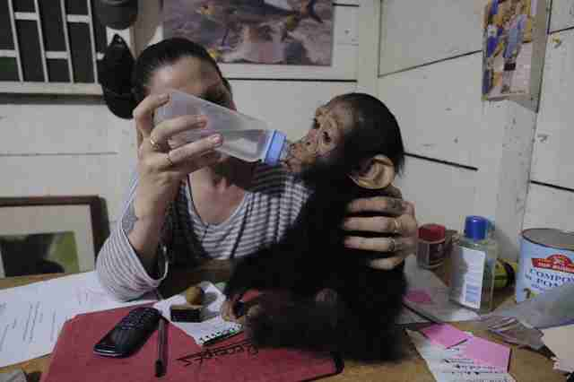 Rescued chimp getting bottle