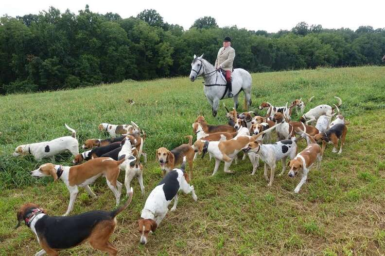 Hounds during fox hunt