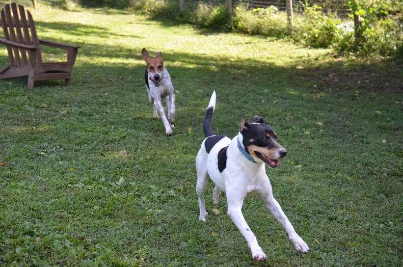 Rescued hounds running around
