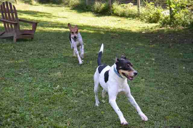 Rescued hounds running around