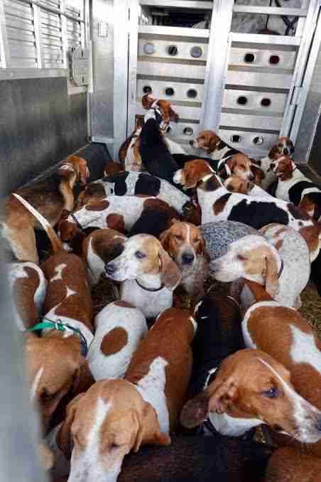 Hounds in the back of a truck