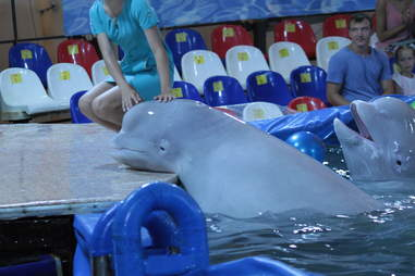 Captive belugas inside tiny pool