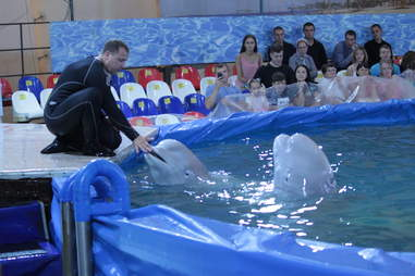 Trainer in water with captive belugas