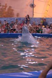 Captive beluga in pool