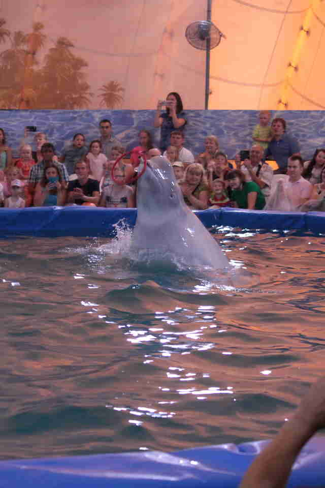 Captive beluga in pool