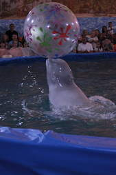 Captive beluga bouncing ball