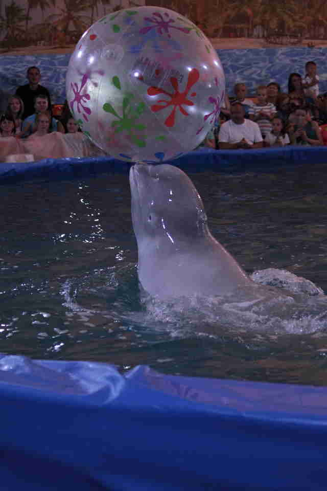 Captive beluga bouncing ball