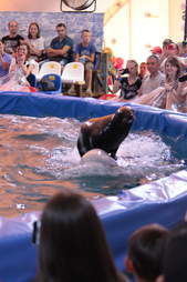 Seal riding on the back of beluga whale