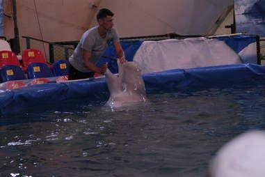 Captive belugas inside pool