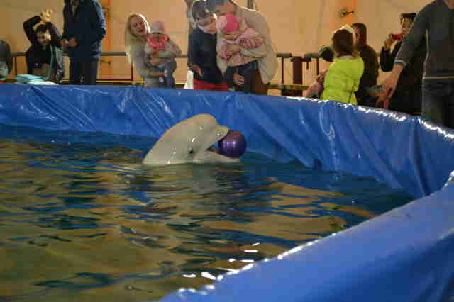 Captive beluga inside pool