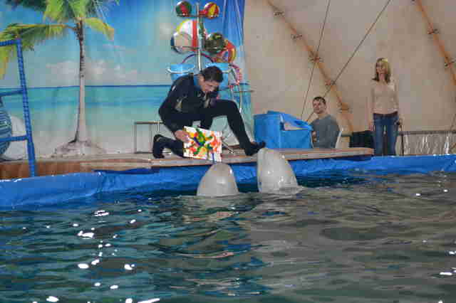 Captive belugas painting a picture