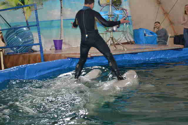 Trainer riding two captive belugas