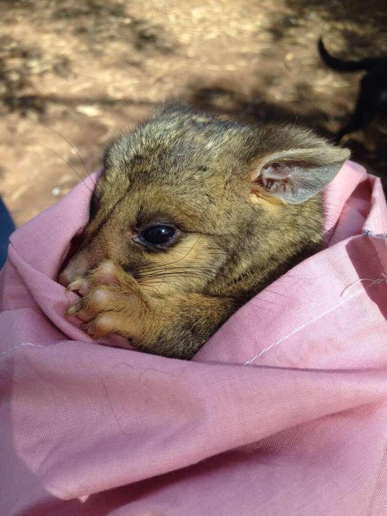 Orphaned possum