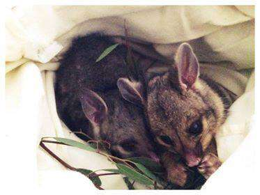 Rescued orphaned possums