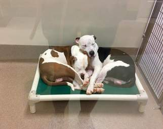 Bonded shelter dogs on bed together