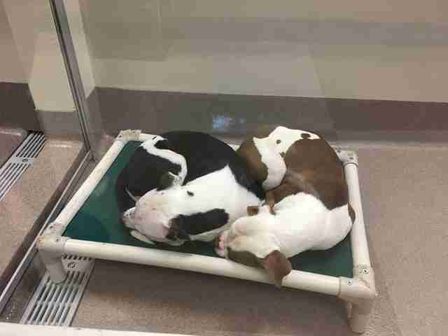 Bonded shelter dogs cuddling together