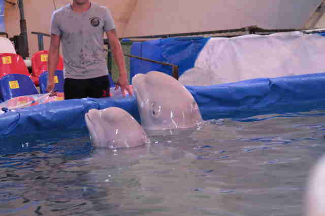 Captive beluga whales in tiny pool