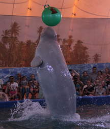 Captive beluga jumping to touch ball
