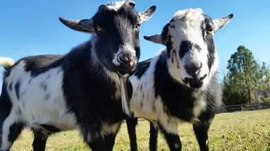 rescue goats on farm