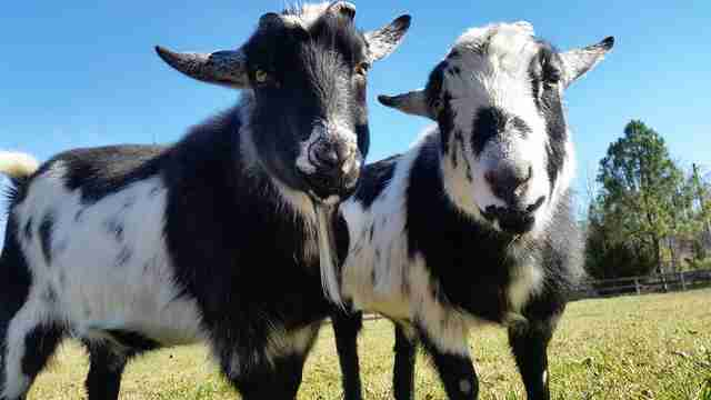 rescue goats on farm