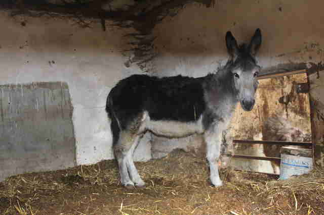 Neglected donkey