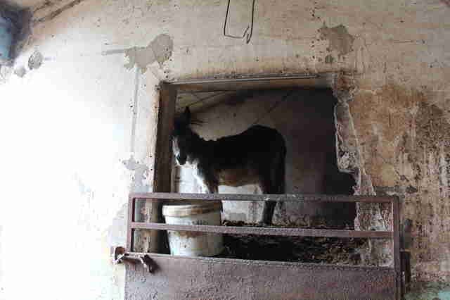 Trapped donkey