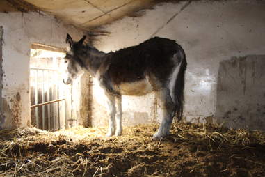 Neglected donkey just before getting rescued