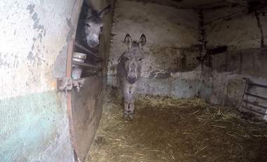 Trapped donkey friends comfort each other