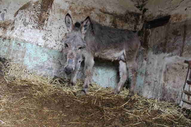 Trapped and neglected donkey