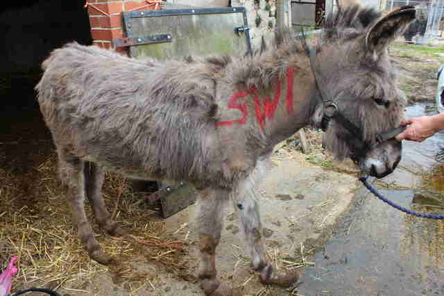 Neglected donkey getting rescued