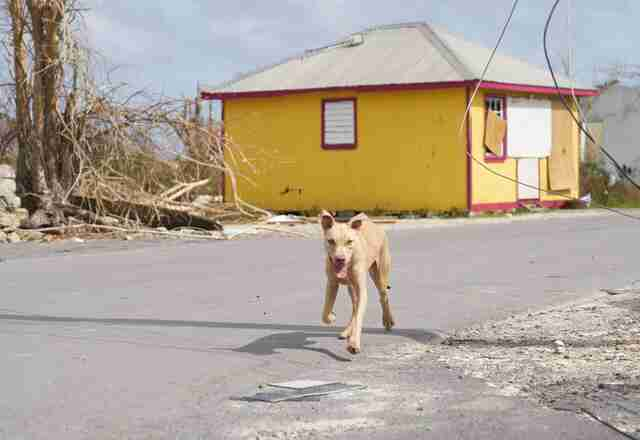 Rescued dog on Barbuda