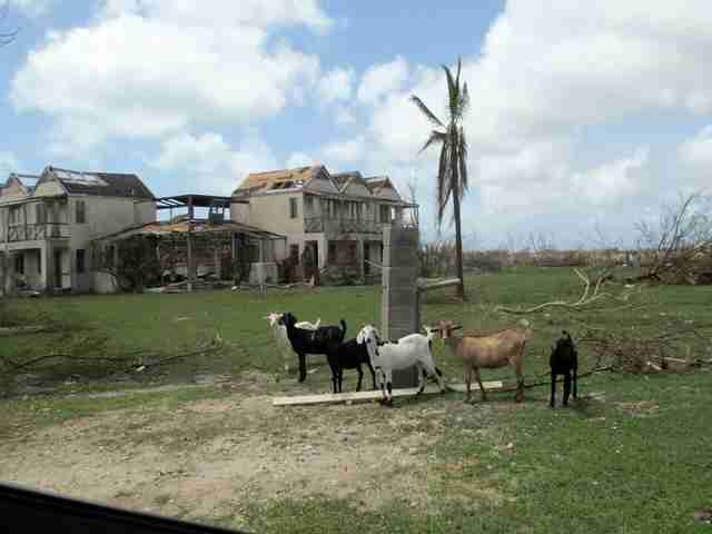 Goats on island after hurricane