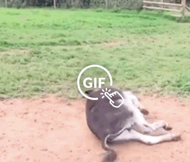 Happy donkey rolling around