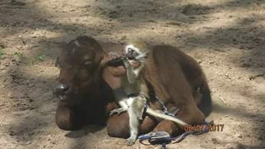 baby monkey befriends buffalo