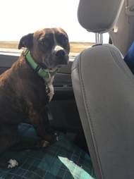 dog in backseat of car