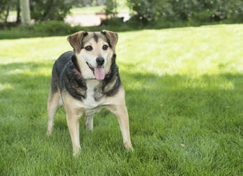 dog posing in field